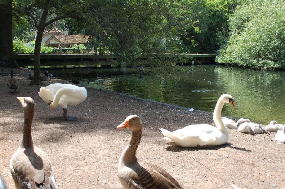 swans and geese in st James's Park London