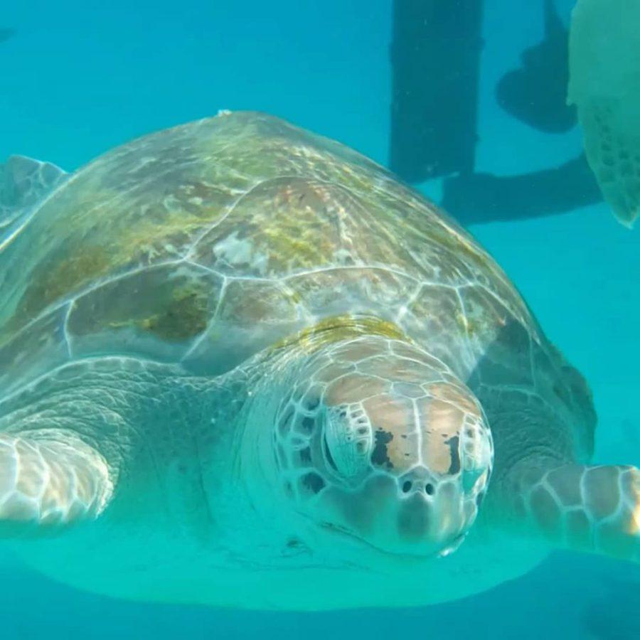 sea turtle playa grandi curacao