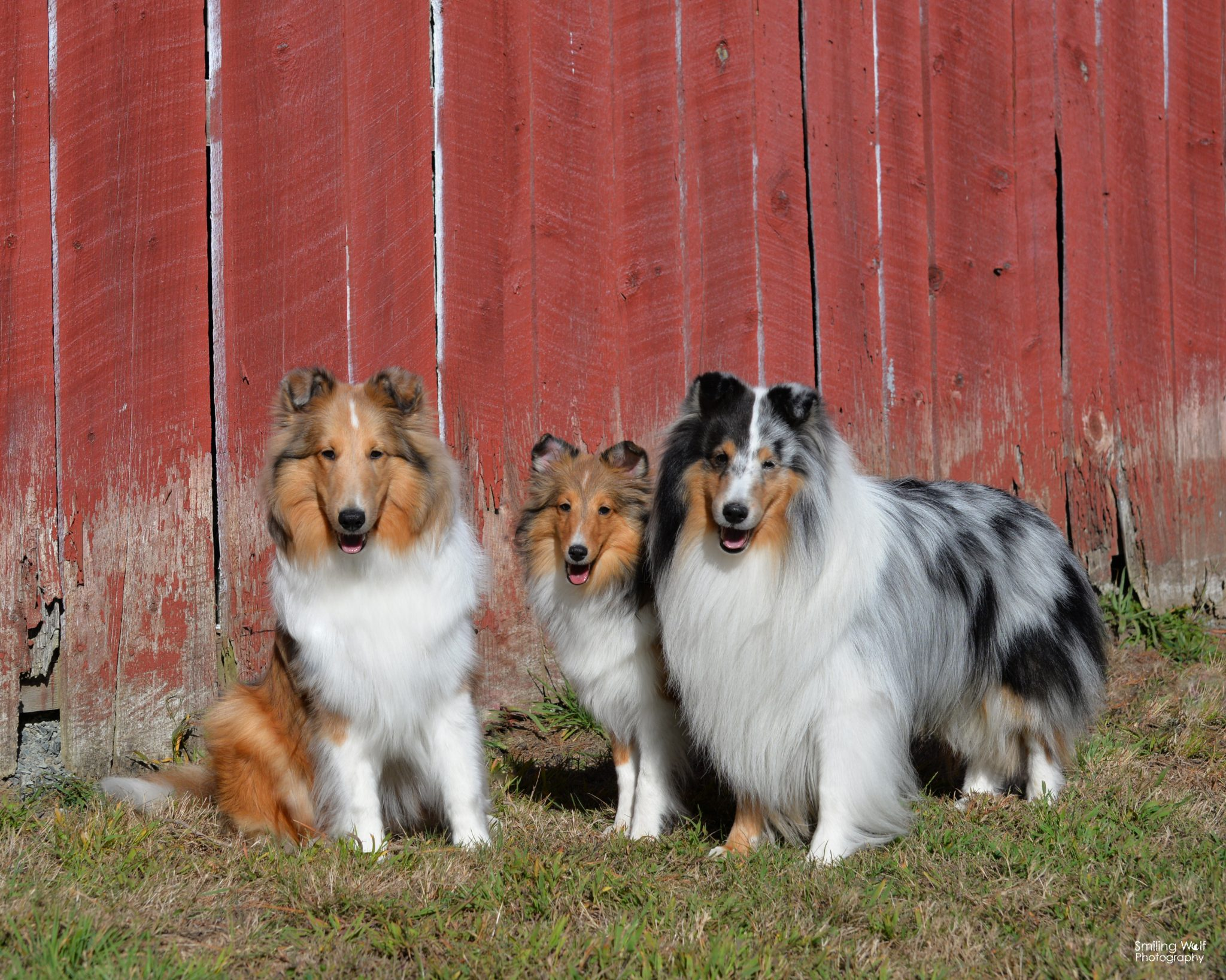 About shelties size temperament health incendio shetland responsible breeders will not breed a carrier to another carrier by continuing to test breeding stock and making decisions accordingly nvjuhfo Images