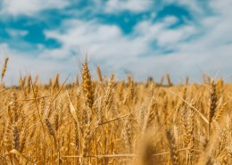 The image highlights a sunny wheat field with a beautiful blue sky, to convey the message of food commodities.