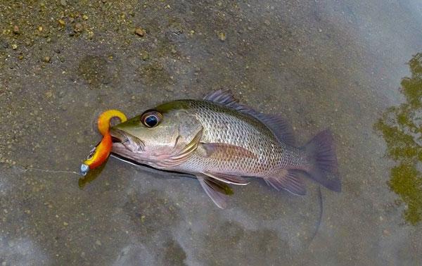mengesan gigitan ikan soft plastic