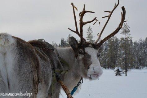 Il vero Babbo Natale in Lapponia le renne