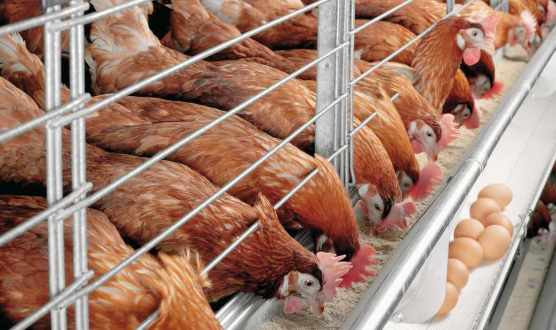 How to Start Turkey Farming in Nigeria: A-Z Guide