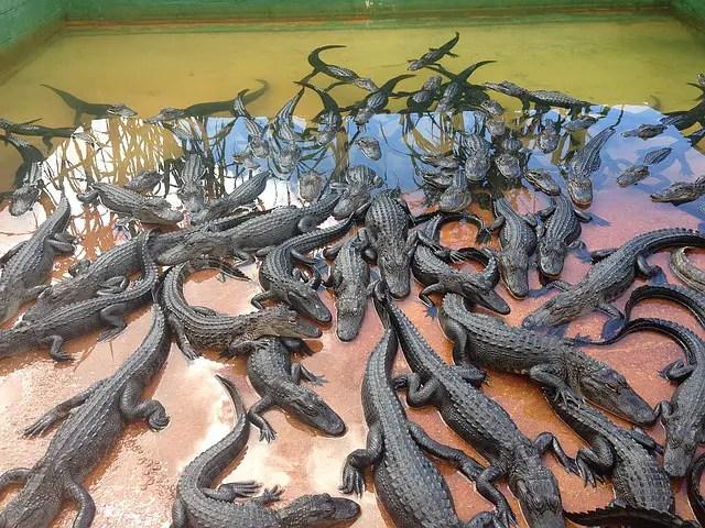 visite ferme aux crocodiles