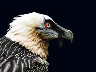 Les vautours dans la Drôme, un patrimoine exceptionnel