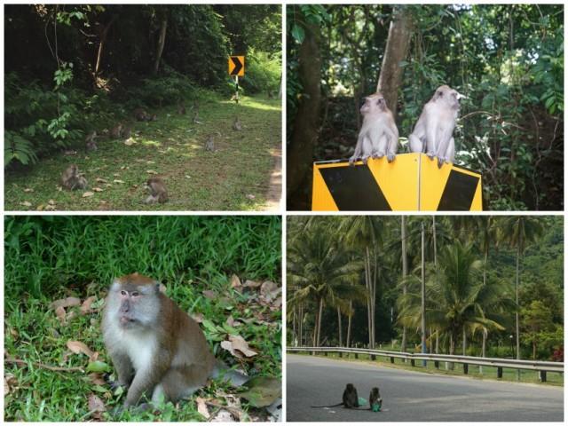 majmok-langkawi-malajzia