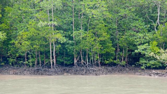 mangrove - malajzia 3
