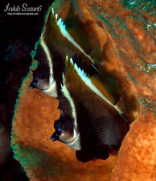 Bunaken Bat Fish