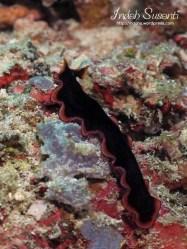 Flatworm Pseudobiceros Gloriosus