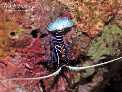 Lobster - Raja Ampat