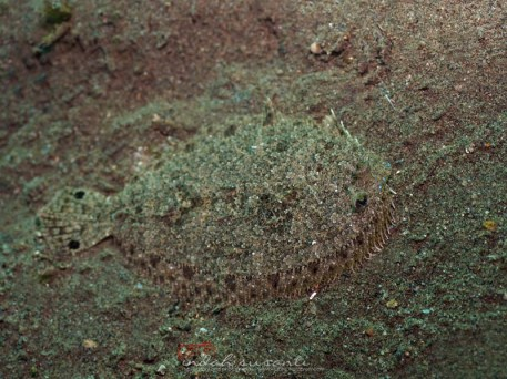 Flounder fish in its disguise