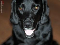 Dante adult dog