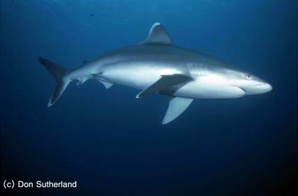 Image by Don Sutherland - Shark