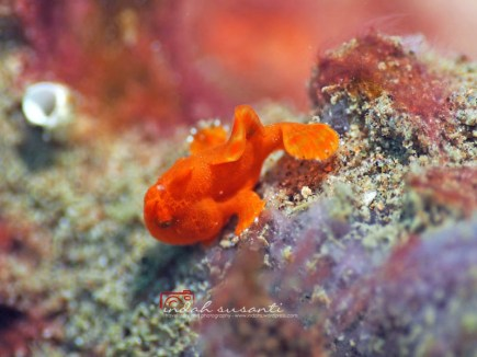 Baby Frogfish