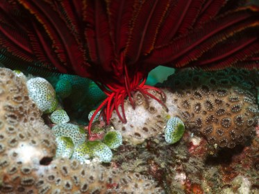 """Feather star and its """"root"""" (taken by Indah Susanti in the Philippines)"""