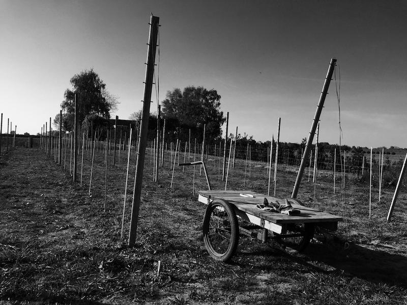Wijngaard in aanbouw