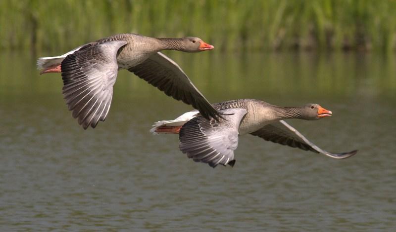 Canadian geese flying lake