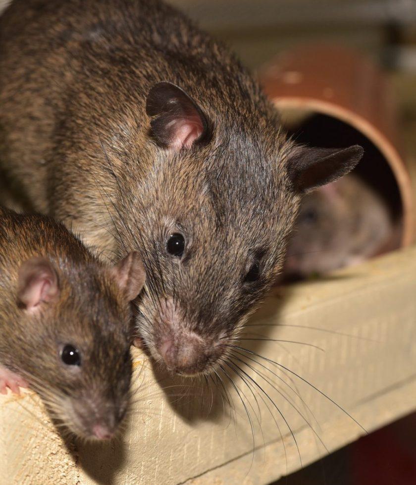 Rat with babies