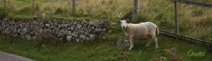 Cheviot sheep in northwest Scotland