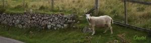 Cheviot sheep in northwest Scotland