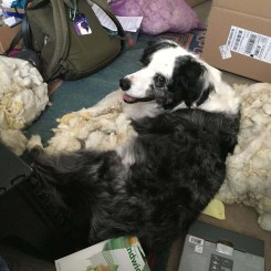 Image of blue merle (gray) dog with white markings on a pile of wool.