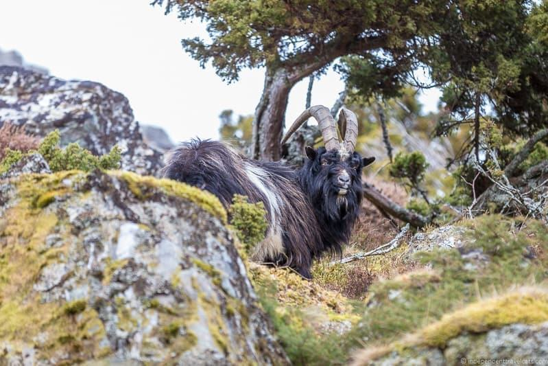 mountain goat things to do in the Cairngorms National Park in winter