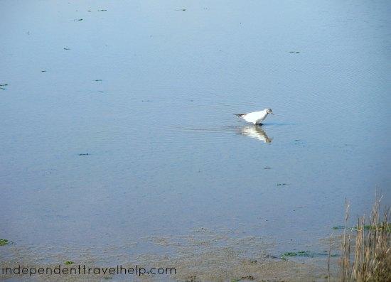 fairest, bird, gull, water, dorset, christchurch, hengistbury head