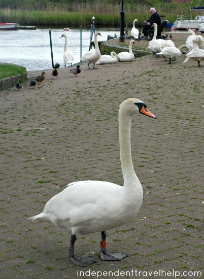 swans, riverside, christchurch, dorset