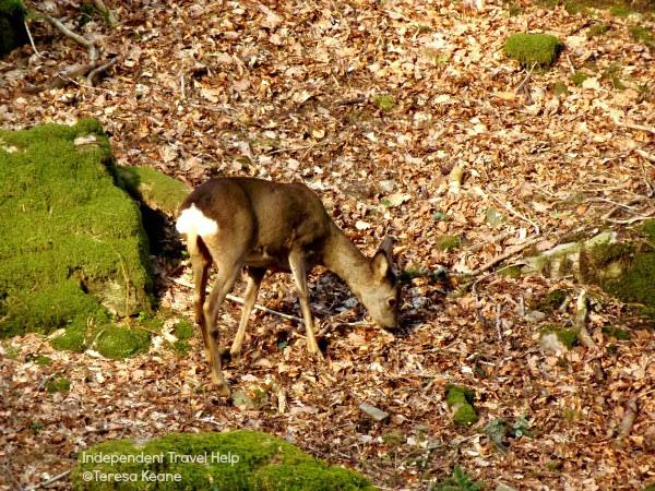 Grasmere deer