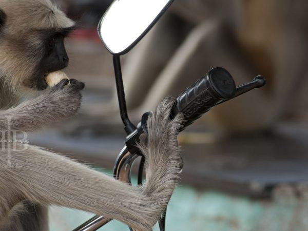 Monkey on a motorbike