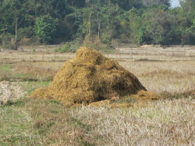 Rice straw biomass for biochar.