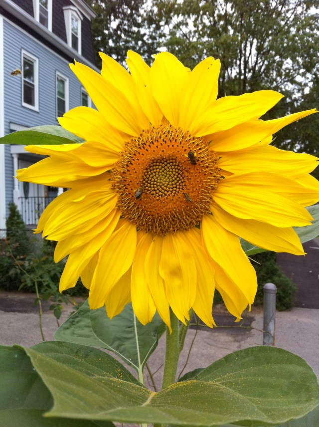 Sunflower from my survival garden.