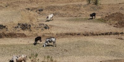 Cattle grazing is part of rural landscape in Jawhar, Dist. Palghar, Maharashtra