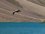 Bird flying over Chandrataal Lake, Spiti, Hiumachal Pradesh, India