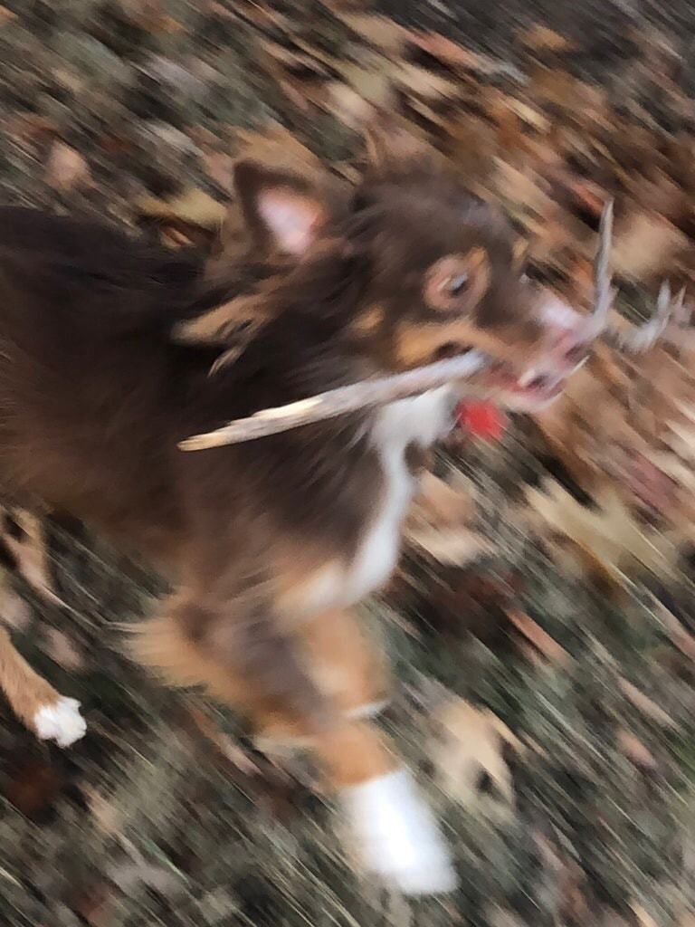 Red Tri Mini Aussie Running