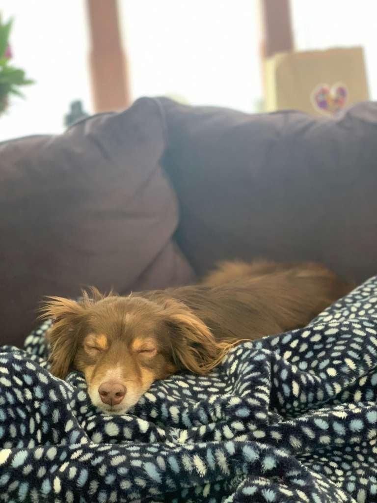Mini Australian Shepherd Sleeping on Couch