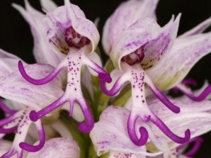 naked-man-orchid-orchis-italica [1]