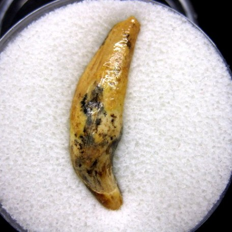 Pliocene Age Ursus Spelaeus Cave Bear Tooth from Romania