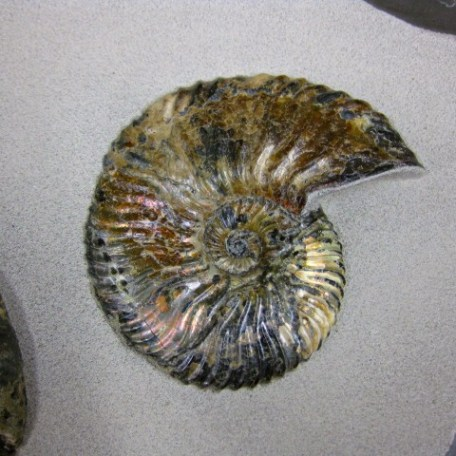 Cretaceous Age Russian Fossil Heteromorph Audoliceras and Deschaisites Ammonite from Ulyanovsk River Region