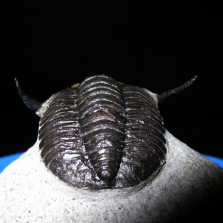 Devonian Age Diademproetus Trilobite from Morocco North Africa