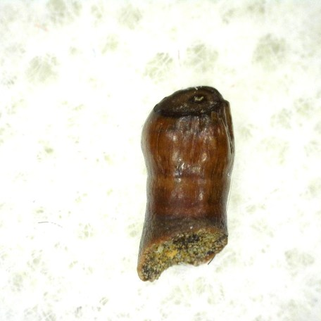 Cretaceous Age Fossil Parksosaurus Dinosaur Tooth from the Hell Creek Formation of Montana