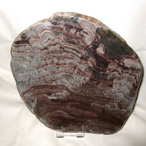 Precambrian Age Fossil Collenia Stromatolite From Essex Montana