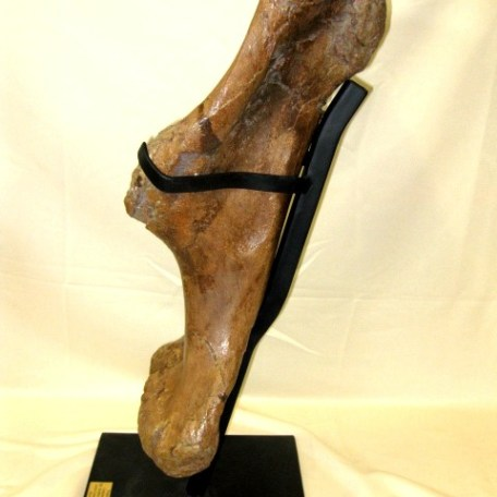 Fossil Cretaceous Age Triceratops Dinosaur Humerus (Upper Arm Bone) from The Hell Creek of Wyoming