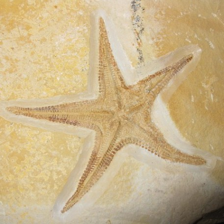 Fossil Jurassic Age Riedaster Reicheli Starfish from The Sublithographic Solnhofen Limestone of Germany