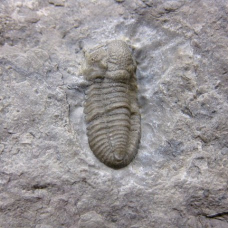 Fossil Mississippian Age Ameropiltonia Lauradanae Trilobite From The Chouteau Formation of Missouri