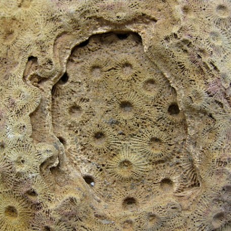 Fossil Devonian Age Acervularia Sun Coral from Western Sahara Desert in North Africa