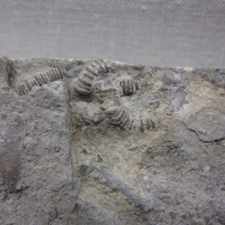 Fossil Mississippian Age Archaeocidaris Echinoid Mass Mortality Plate From Gilmore City Iowa