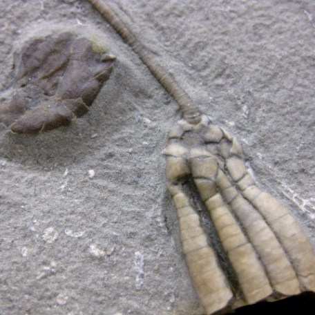 Fossil Mississippian Age Hylodecrinus Mass Mortality Crinoid Plate from Crawfordsville Indiana