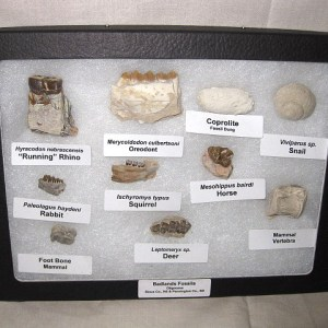 Fossil South Dakota Badlands Oligocene Collection