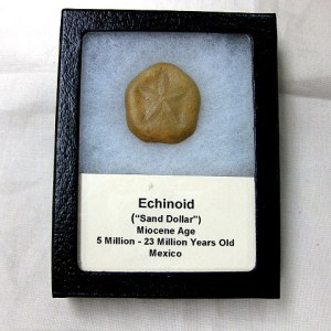 Fossils Miocene Age Echinoid from Mexico